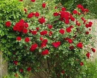 Что надо знать чтобы купить саженцы роз в Украине