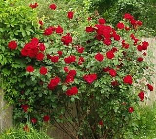 Что надо знать перед тем как купить саженцы роз в Украине