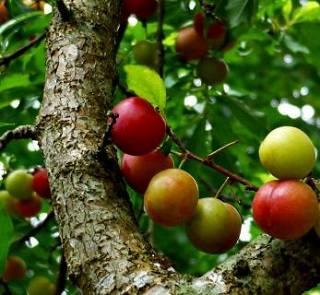 Саженцы плодовых деревьев от Landscape.ua